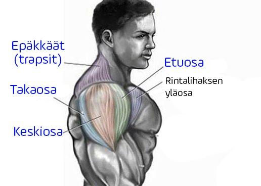 Olkapäiden anatomia